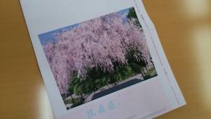 退蔵院枝垂桜