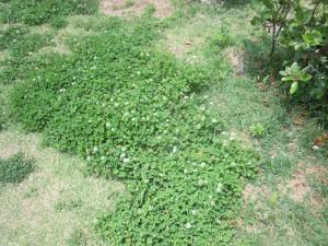シロツメ草