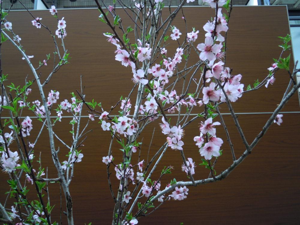 ピクチャーウインドウ アーモンドの木