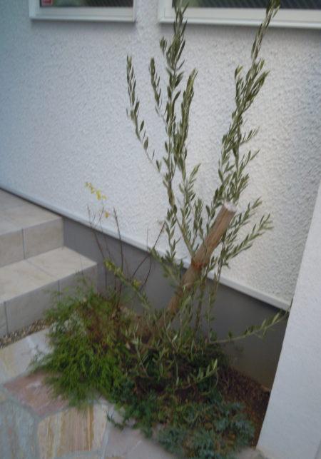 玄関前にオリーブを植えました。