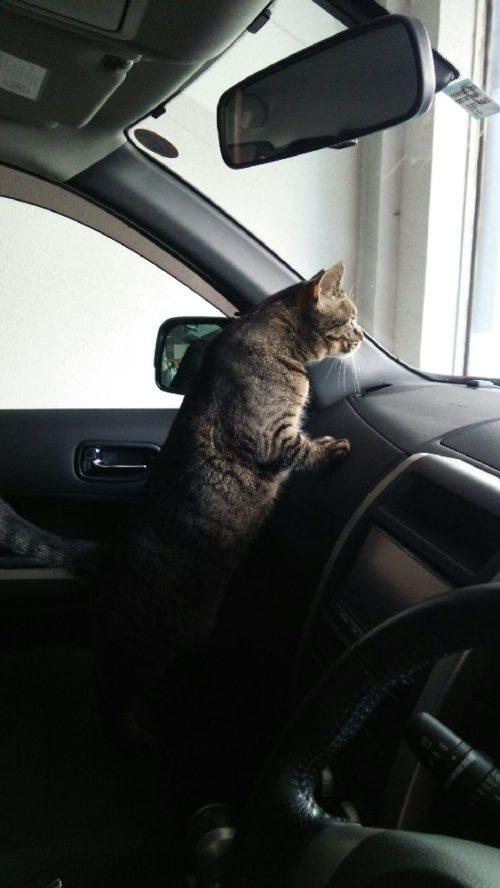 車に乗る猫 キジトラ