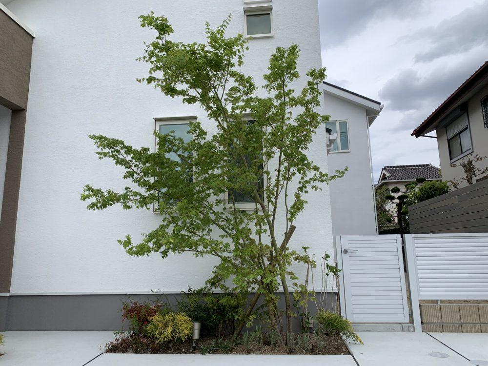 イロハモミジ シンボルツリー