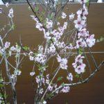 桜に良く似たアーモンド