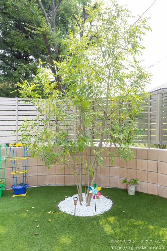 シンボルツリーのシマトネリコの株立  大阪 植栽 庭