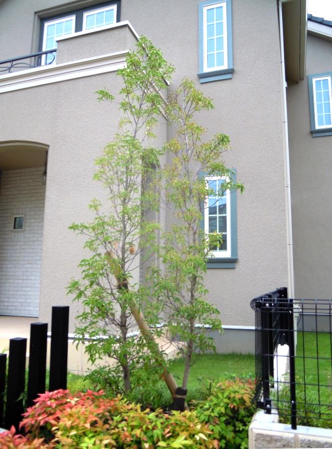 シンボルツリーのトキワヤマボウシ