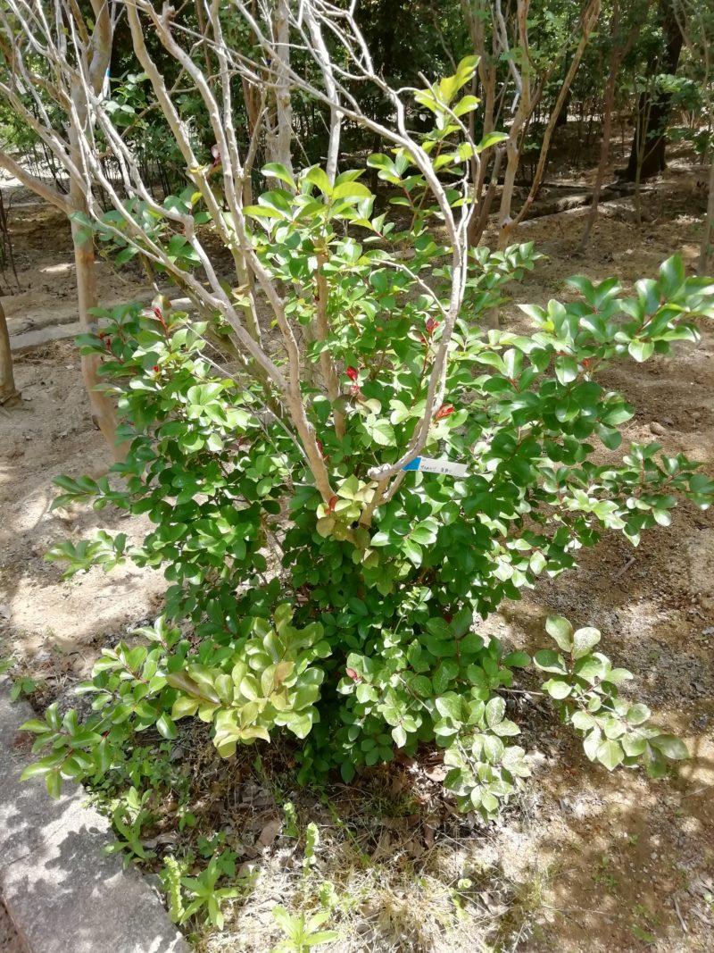サルスベリ 夏祭り 暑さに強い樹木 夏の花