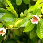 カラタネオガタマ 良い香りの木