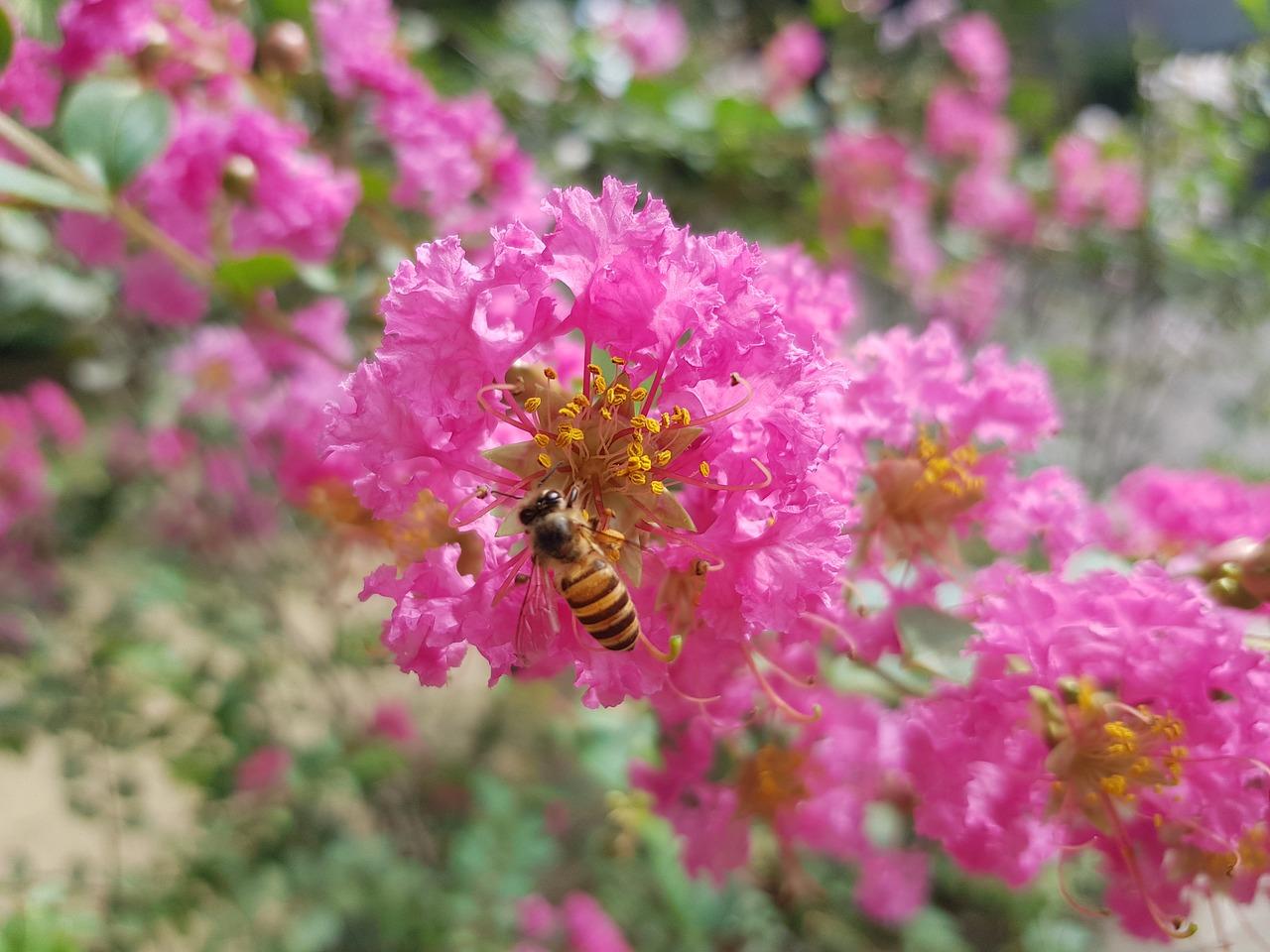 サルスベリ 暑さに強い樹木 夏の花
