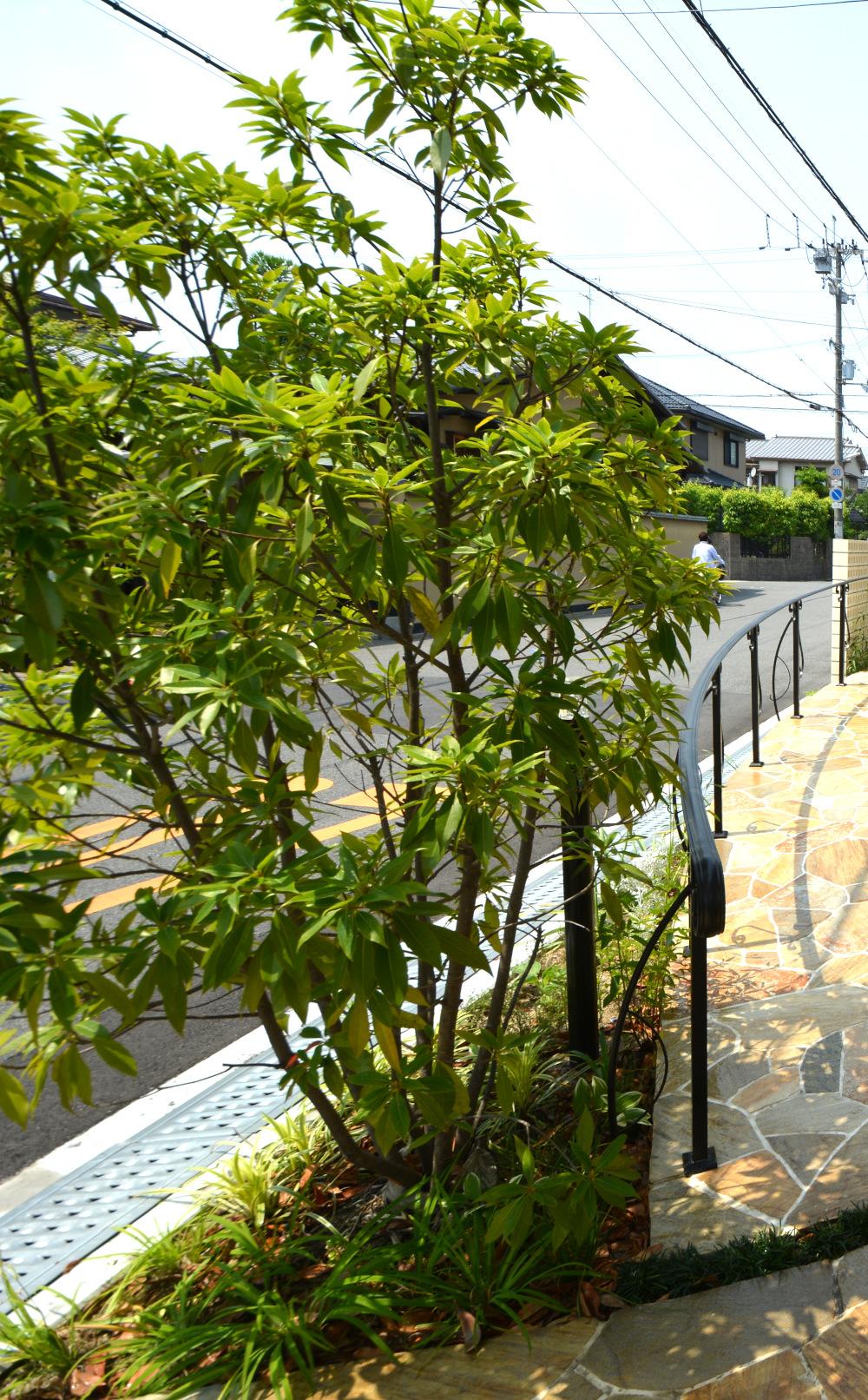 カラタネオガタマ 良い香りの花 芳香 シンボルツリー 庭木