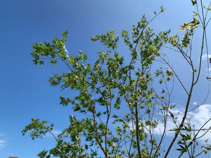 イロハモミジ 植栽 庭の木